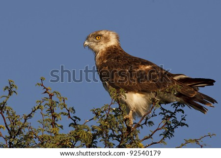 snake eagle perched on a bush - stock photo