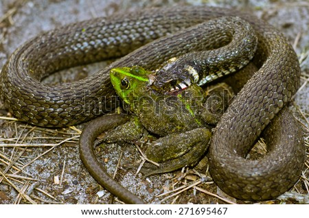 Snake eats frog. The concept of natural selection in the wild. - stock photo