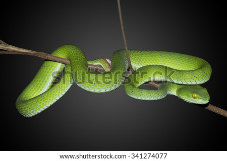 Snake,Green pit viper, Asian pit viper, Trimeresurus (Viperidae),isolated on white background, with clipping path - stock photo