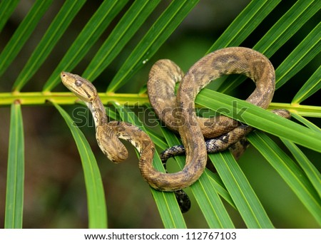 Snake in a rainforest - Tree Boa Constrictor snake, Corallus hortulanus - stock photo