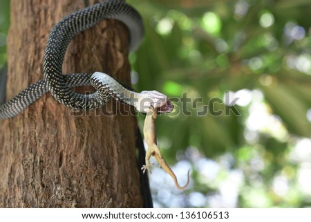 Snake is eating gecko. - stock photo