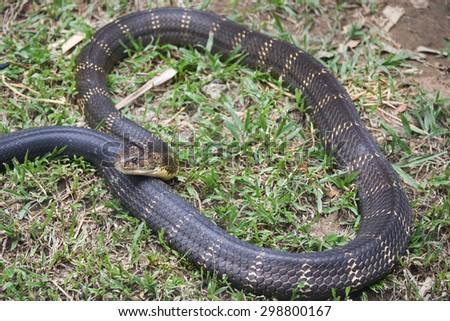 Snake King Cobra(Ophiophagus hannah), world's longest black venomous reptiles crawling is a dangerous beast .Beautiful snake skin with yellow stripes. National park Karnataka India forest - stock photo