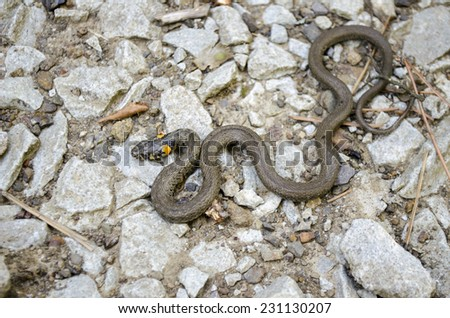 Snake natrix reptile animal wild - stock photo