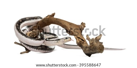 Snake on a branch, isolated on white - stock photo