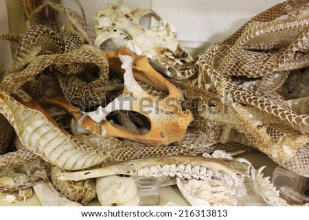 Snake skins, bones and turtle shells - nature things that children found during a hike - stock photo