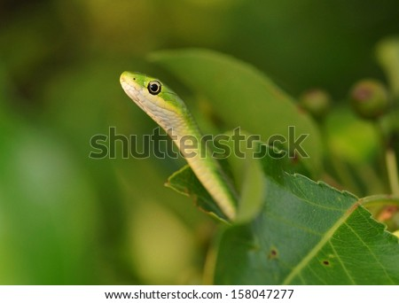 Snake tempting from a fruit tree - green snake called Opheodrys aestivus  - stock photo