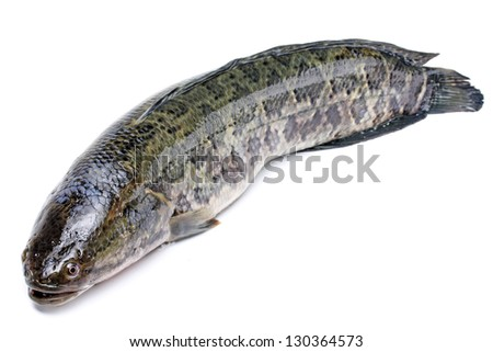snakehead is a ferocious fish isolated on white - stock photo