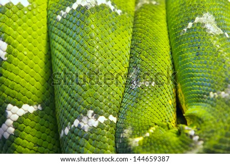 Snakes body wrapped around brunch. - stock photo