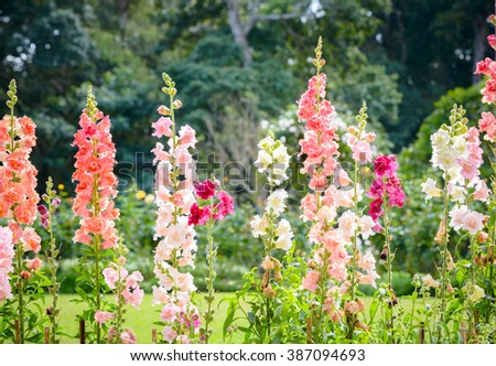Snap dragon flower (Antirrhinum majus) blooming in garden - stock photo