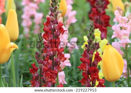 snapdragons and tulip in cottage garden setting of toowoomba carnival of flowers - stock photo