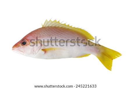 Snapper fish isolated on white background  - stock photo