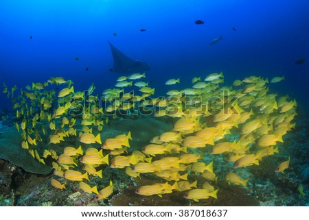Snapper fish on reef with manta ray in background - stock photo