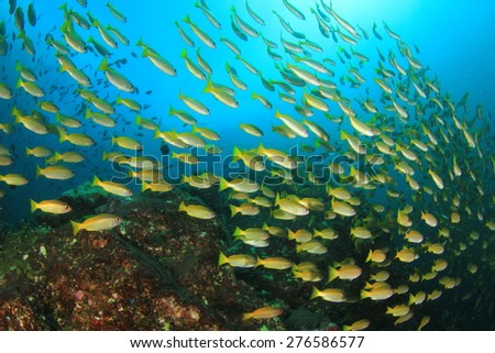 Snapper fish underwater - stock photo