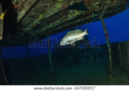 Snapper inside the Kittiwake, Grand Cayman - stock photo