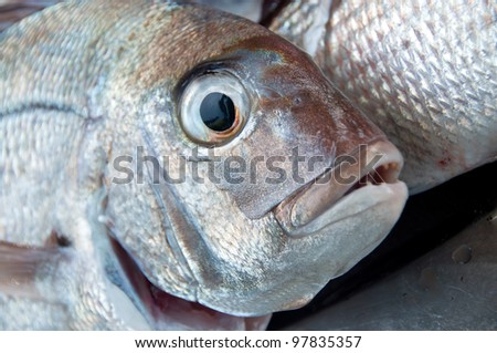 Snapper sea water fish caught in New Zealand close up of face and eyes - stock photo
