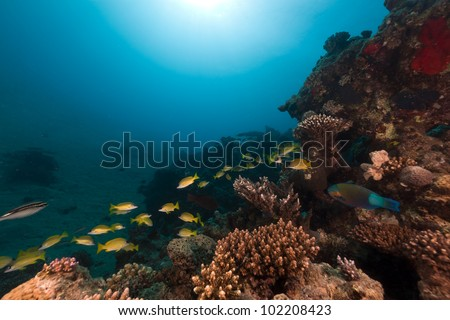 Snappers and tropical reef in the Red Sea - stock photo