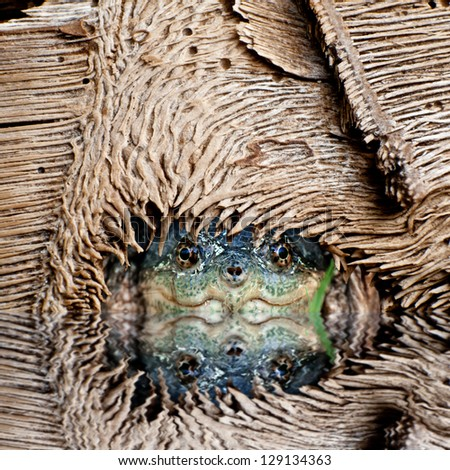 Snapping turtle hiding under a log. - stock photo
