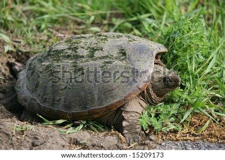 Snapping Turtle Laying her Eggs - stock photo