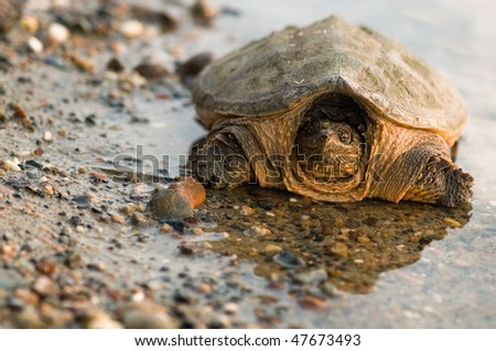 snapping turtle on gravel at waters edge - stock photo