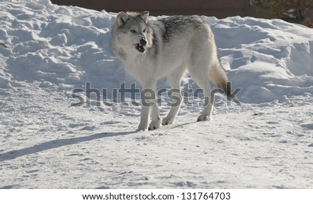 Snarling wolf  in Yellowstone National Park. - stock photo