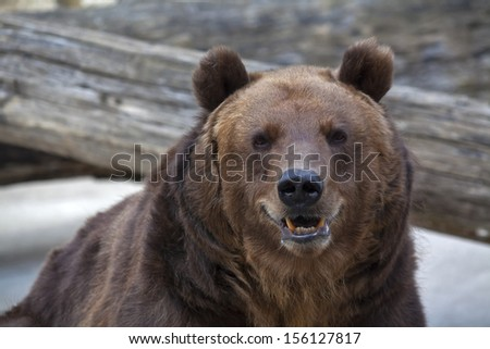 Sneer grimace on the face of a brown bear female. Macro face portrait of the most mighty beast of the world. Eye to eye with severe and very dangerous predator. Beauty of the wildlife. - stock photo