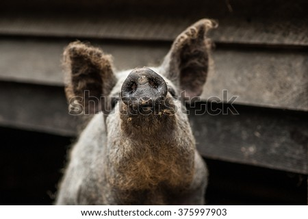 Sniffing backyard pig nose close up in the rural piggery farm courtyard - stock photo