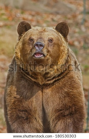 sniffing bear - stock photo