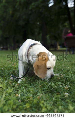 Sniffing female beagle in a city park - stock photo