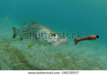 snook fish swimming after lure in the ocean - stock photo