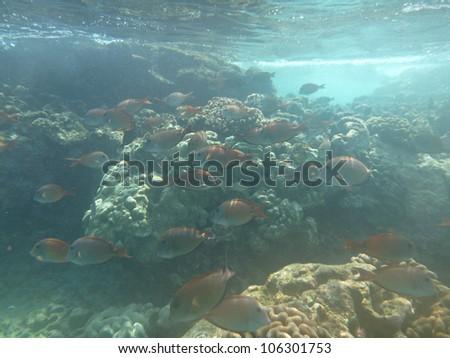 snorkeling in coral reef (Big Island - Hawaii) - stock photo