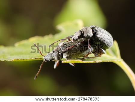 snout beetle heaven - stock photo