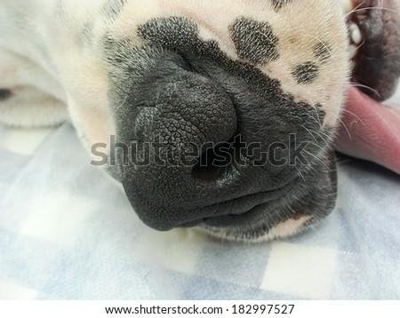 Snout of dogo argentino dog - stock photo