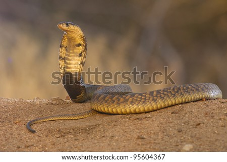 Snouted Cobra (Naja annulifera) with hood up in defensive posture, South Africa - stock photo