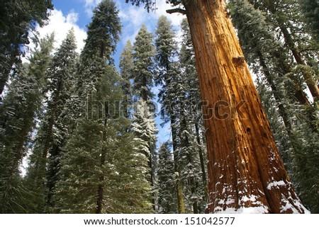 Snow among the Stately Sequoias - Sequoia National Park - California - stock photo