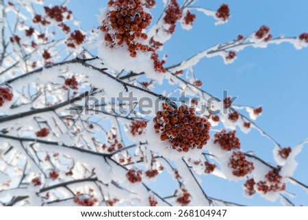 snow-bound rowan branches with bunches of a red berry - stock photo