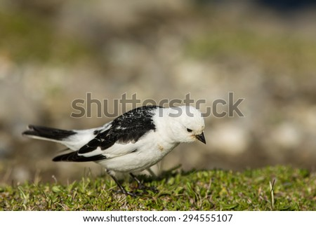 Snow bunting looking for something to eat - stock photo