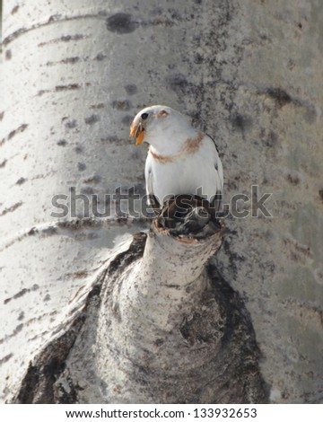 Snow Bunting perched in tree - stock photo