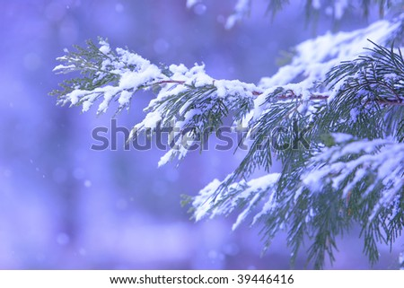 Snow Collecting on Branches of Pine Trees - stock photo
