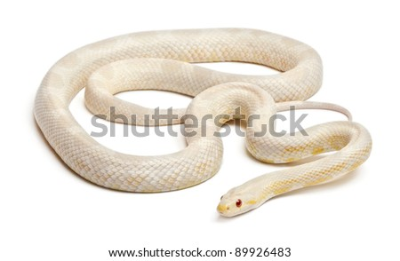 Snow Corn Snake or Red Rat Snake, Pantherophis guttatus, in front of white background - stock photo