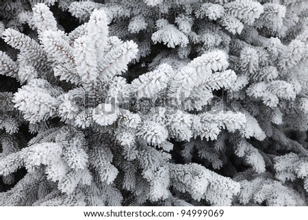 Snow covered branches of a fir (spruce) tree - stock photo