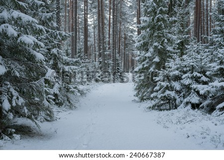 Snow covered fir trees in winter - stock photo