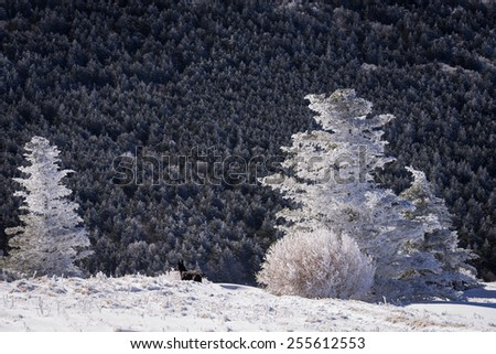 Snow-covered fraser fir trees at the top of Round Bald in the Roan Highlands along the Appalachian Trail.  - stock photo