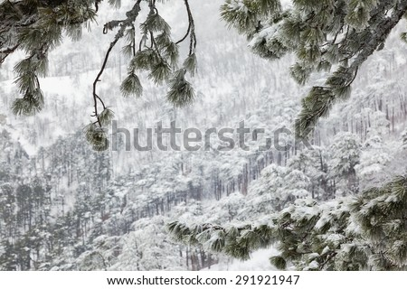 snow-covered landscape in the coniferous forest in the mountains through the branches in hoarfrost - stock photo