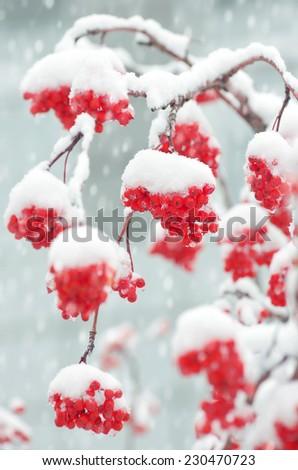 Snow-covered mountain ash - stock photo