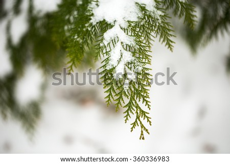 Snow covered of thuja branch. Close up. Coniferous branches and cones covered with hoarfrost. Close up. - stock photo