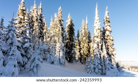 Snow covered pine trees in the high alpine - stock photo