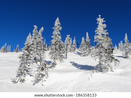 Snow-covered trees on a white snow slope against the blue sky - stock photo