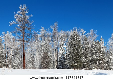 Snow-covered trees on the edge of the forest, winter landscape, Siberia, Russia - stock photo