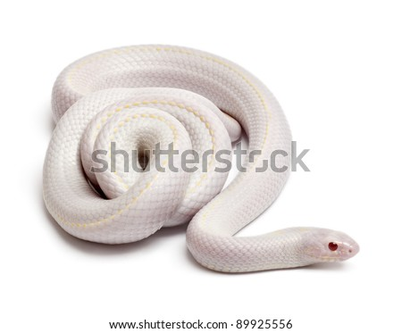 Snow eastern kingsnake or common kingsnake, Lampropeltis getula californiae, in front of white background - stock photo