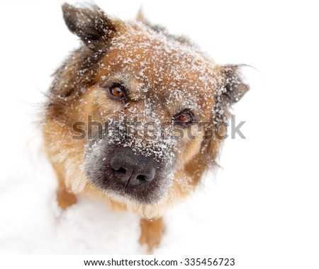 Snow Flake Covered Brown Dog Looking Up on White Background - stock photo
